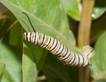 Monarch caterpillar on a Milkweed leaf. Monarch caterpillar feeding on a Milkweed leaf stock photos