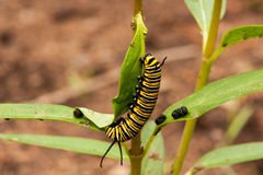 Monarch caterpillar on a milkweed plant. Monarch caterpillar munching on a milkweed plant royalty free stock images