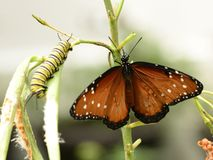 Monarch and caterpillar on plant royalty free stock photos