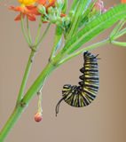 Monarch caterpillar preparing for change. A monarch caterpillar preparing to form a chrysalis stock images
