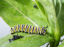 Monarch caterpillar resting right after molting Royalty Free Stock Image