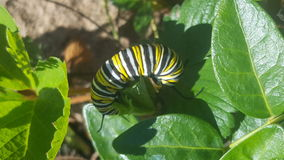 MONARCH CATERPILLAR. Striped strawberry caterpillar royalty free stock image