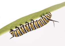 Monarch Caterpillar Stock Photos