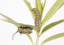 Monarch Caterpillar Stock Images