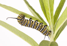 Monarch Caterpillar Royalty Free Stock Photos