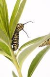Monarch Caterpillar Royalty Free Stock Photography