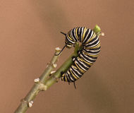 Monarch Caterpillar on a Twig Royalty Free Stock Image