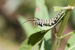 Monarch caterpillar5 royalty-vrije stock fotografie