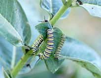 Monarch Caterpillars. A group of monarch butterfly caterpillars, Danaus plexippus, eating milkweed leaves Stock Image