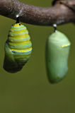 Monarch Chrysalis II Stock Photography
