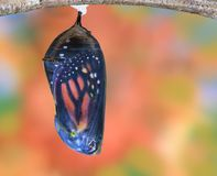 Monarch Chrysalis Late. A Monarch chrysalis in the late stage of development stock images