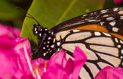 Monarch Closeup Stock Photo