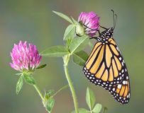 Monarch on Clover Stock Photos