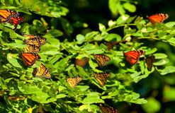 Monarch cluster Stock Photo