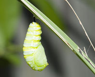Monarch cocoon Stock Photo