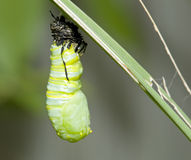 Monarch cocoon Stock Images