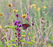 Monarch. Colorful monarch butterfly on a purple flower royalty free stock photo