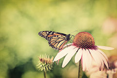 Monarch on cone flower - Retro. A monarch Butterfly feeding on the nectar of a purple cone flower.  Processed for faded vintage retro look Royalty Free Stock Photos