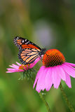 Monarch on Coneflower. Monarch butterfly posing on purple coneflower in Chicago,Illinois in hot summer day royalty free stock image