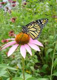 Monarch on Coneflower. Female monarch butterfly alights on purple coneflower Royalty Free Stock Image