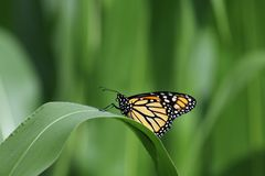 Monarch on a corn leaf Royalty Free Stock Photos
