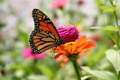 Monarch on dahlia. Orange Monarch butterfly on orange dahlia flower Royalty Free Stock Photography