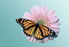 Monarch on Daisy stock images
