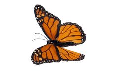 Monarch (Danaus plexippus) Royalty Free Stock Image