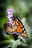Monarch Danaus Plexippus Royalty-vrije Stock Afbeelding