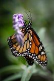 Monarch Danaus Plexippus Royalty-vrije Stock Fotografie