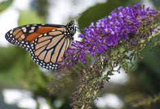 Monarch Danaus plexippus Butterfly Stock Images