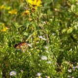 Monarch, Danaus plexippus Stock Photos