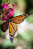 Monarch Danaus Plexippus Royalty Free Stock Photos
