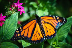Monarch Danaus Plexippus Stock Photo