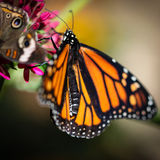 Monarch Danaus Plexippus Royalty Free Stock Images