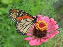 Monarch die op roze Zinnia in volledige bloei rusten royalty-vrije stock afbeeldingen