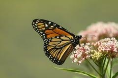 Monarch die? voedt royalty-vrije stock afbeeldingen