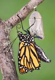Monarch emerging. A monarch butterfly clings to a chrysalis after emerging Stock Photos