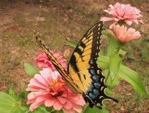 Monarch en Gerber stock fotografie