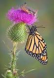 Monarch en Sprinkhaan Royalty-vrije Stock Afbeelding