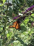 Monarch feasting on butterfly bush. Orange Monarch butterfly drinking nectar from purple butterfly bush flowers Stock Image