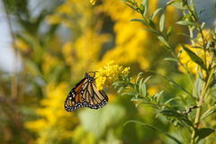 Monarch Feasting. Monarch Butterfly feasting on yellow flower Royalty Free Stock Photography