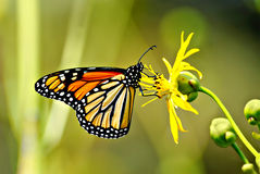 Monarch Feeding. A monarch butterfly feeding on a bright yellow flower royalty free stock image