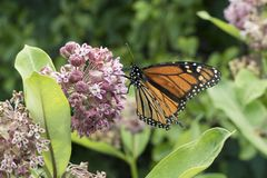 Monarch Feeding on Milkweed Plant. A single monarch butterfly feeds on milkweed blossoms in Shenandoah National Park in western Virginia, USA royalty free stock photos