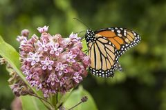 Monarch Feeding on Milkweed Plant. A single monarch butterfly feeds on milkweed blossoms in Shenandoah National Park in western Virginia, USA stock photos