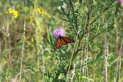 Monarch butterfly, Shenandoah Mountains, Virginia. A monarch feeds daintily from a purple thistle high in the Shenandoahs stock photos