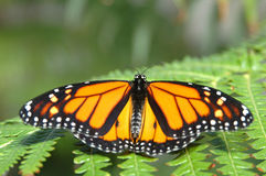 Monarch on a fern. Close-up royalty free stock image