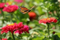 Monarch in Flight. A Monarch Butterfly flies over a garden full of heirloom zinnia flowers royalty free stock photo