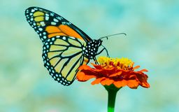 Monarch on Flower in the Garden. A beautiful monarch butterfly pollinating a flower in the garden stock photo