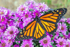 Monarch on Flowers. A monarch butterfly resting on a group of purple flowers royalty free stock photos